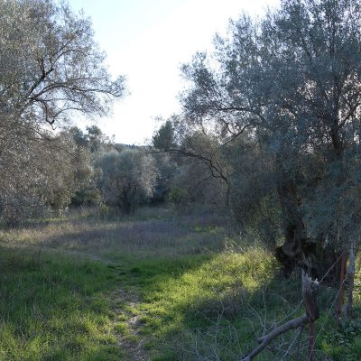 Olive grove in Apolpaina, Lefkada.
